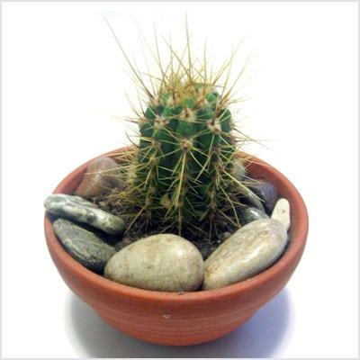 Contra la radiación: Cactus