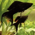 el-molly-negro-un-bello-contraste-en-nuestro-acuario_k9vi0
