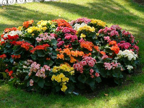 las-begonias-belleza-y-variedad-de-color-todo-el-ano_lr8zm
