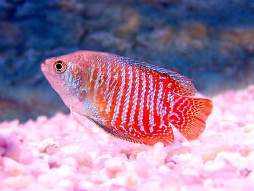 un-pez-pacifico-y-sociable-en-nuestro-acuario-el-colisa-lalia_z23wr