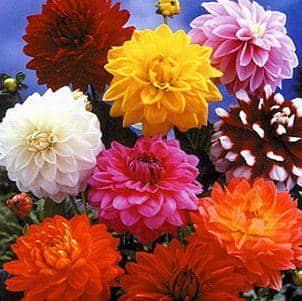 una-explosion-de-color-en-nuestro-jardin-las-dalias_4v6wk