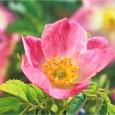 una-flor-aliada-de-nuestra-piel-rosa-mosqueta_b2qf0